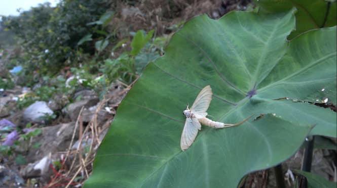 Kỳ lạ loài côn trùng chỉ sống vài tiếng trong đời nhưng khi thành món ăn thì gây nghiện-1
