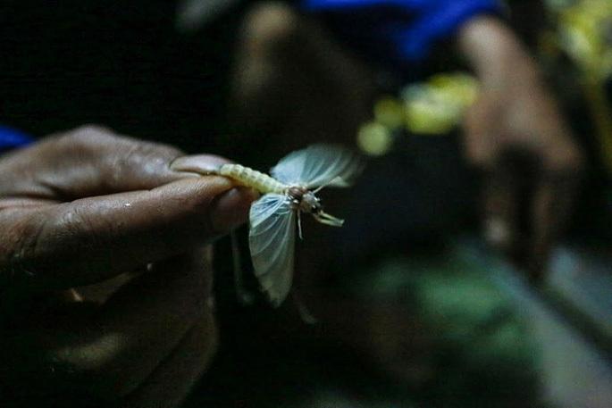Kỳ lạ loài côn trùng chỉ sống vài tiếng trong đời nhưng khi thành món ăn thì gây nghiện-2