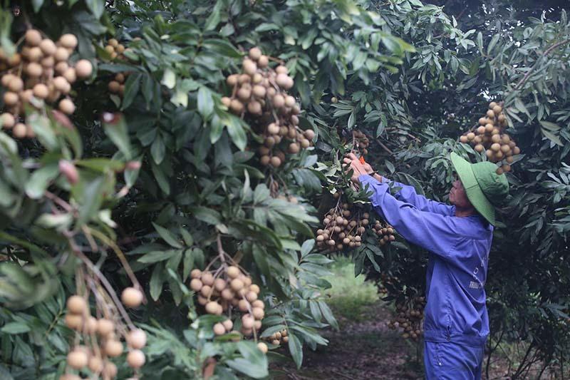 Biến động bên Tây, trái cây Việt gặp khó dội chợ, rẻ như rau-2