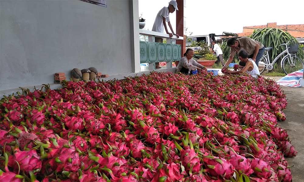 Ở vườn dân bán rẻ như cho, ra Hà Nội thành đắt gấp 25 lần-1