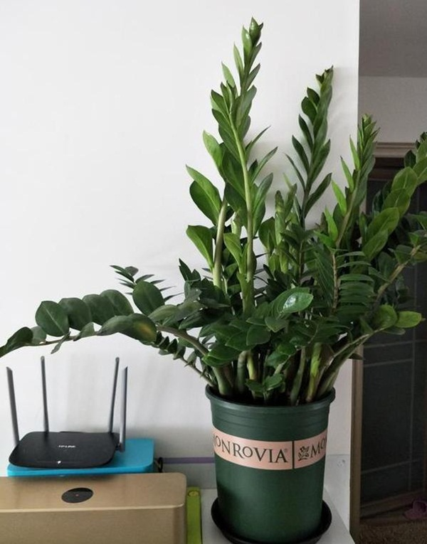 7 loại cây cảnh phong thủy trong phòng khách giúp gia chủ chiêu tài, kích lộc, gặp nhiều may mắn-1
