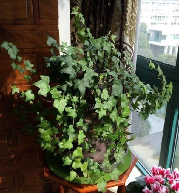7 loại cây cảnh phong thủy trong phòng khách giúp gia chủ chiêu tài, kích lộc, gặp nhiều may mắn-4