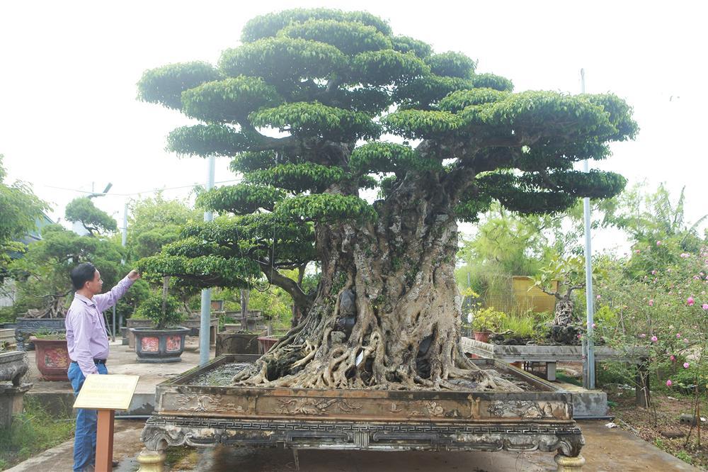 Ngọn cây sanh giá 28 tỷ đồng, vậy gốc cây đáng giá bao nhiêu?-1