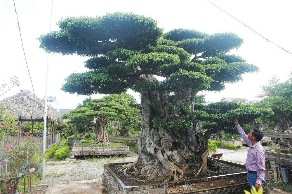 Ngọn cây sanh giá 28 tỷ đồng, vậy gốc cây đáng giá bao nhiêu?-3