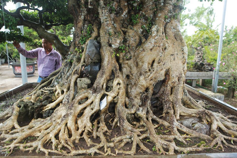 Ngọn cây sanh giá 28 tỷ đồng, vậy gốc cây đáng giá bao nhiêu?-4