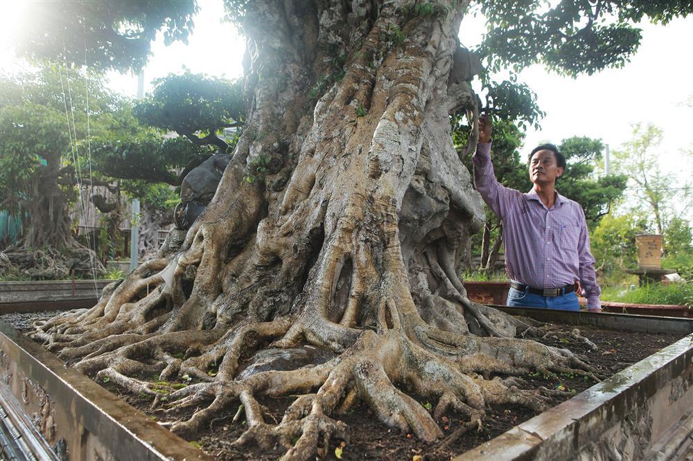 Ngọn cây sanh giá 28 tỷ đồng, vậy gốc cây đáng giá bao nhiêu?-5