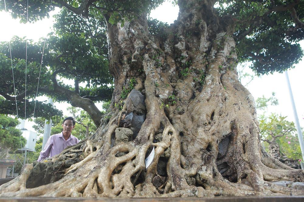 Ngọn cây sanh giá 28 tỷ đồng, vậy gốc cây đáng giá bao nhiêu?-6