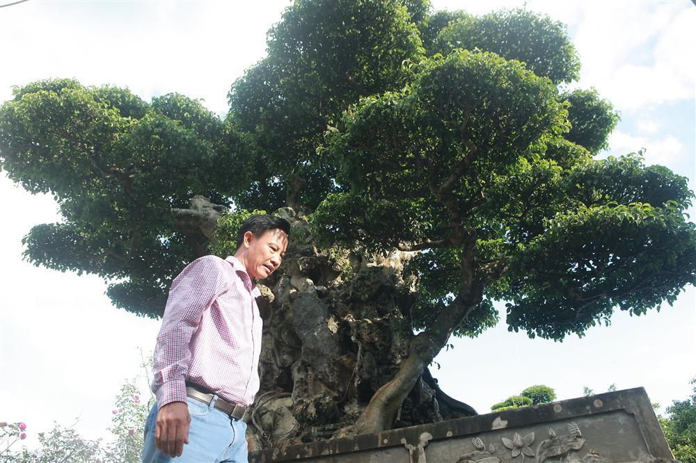 Ngọn cây sanh giá 28 tỷ đồng, vậy gốc cây đáng giá bao nhiêu?-8