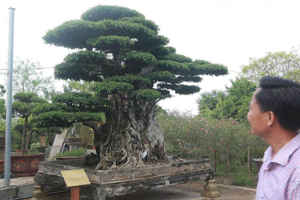 Ngọn cây sanh giá 28 tỷ đồng, vậy gốc cây đáng giá bao nhiêu?-9