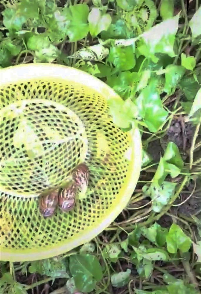 Nghe chất nhầy của ốc sên có khả năng làm đẹp da, cô gái lập tức ra vườn bắt cả bầy thả lên mặt làm thử nghiệm khiến dân mạng tranh cãi-1