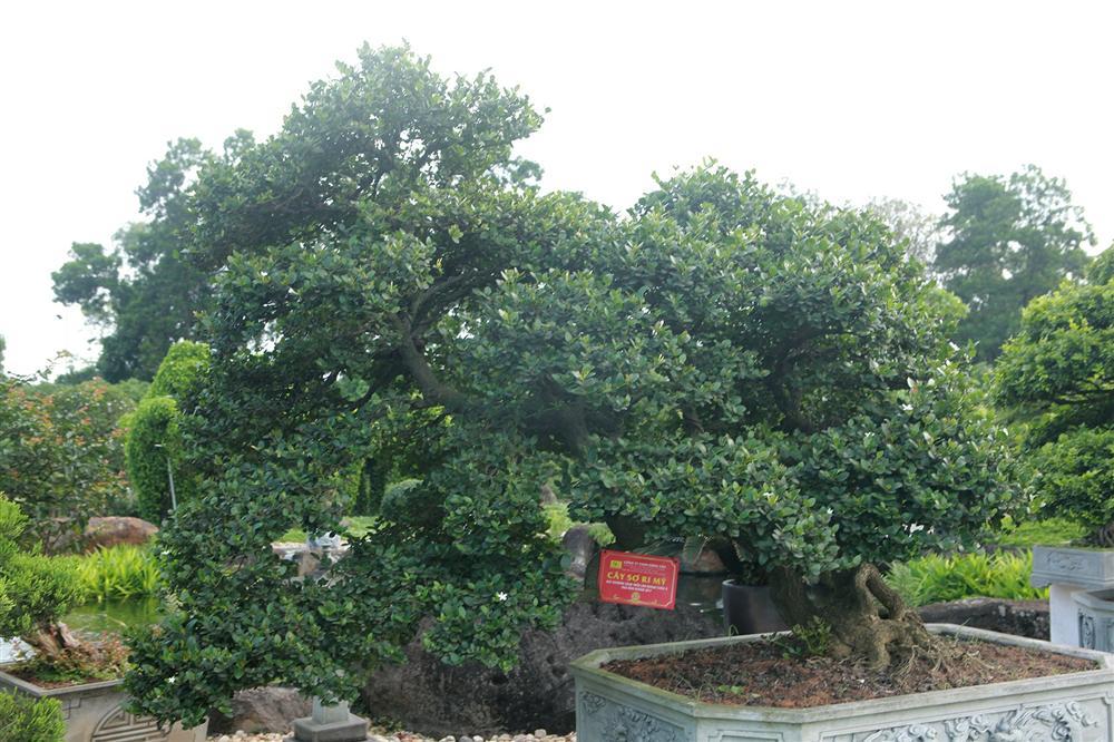 Dàn sơ ri bonsai cổ thụ, trĩu quả giá tiền tỷ của tướng cướp hoàn lương-1