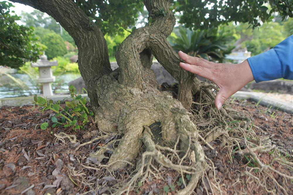 Dàn sơ ri bonsai cổ thụ, trĩu quả giá tiền tỷ của tướng cướp hoàn lương-3