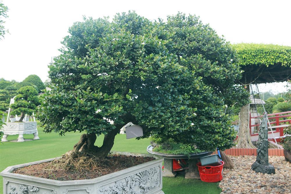 Dàn sơ ri bonsai cổ thụ, trĩu quả giá tiền tỷ của tướng cướp hoàn lương-4