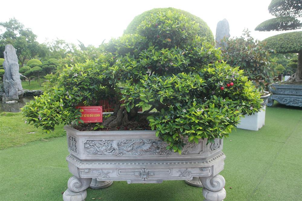 Dàn sơ ri bonsai cổ thụ, trĩu quả giá tiền tỷ của tướng cướp hoàn lương-5