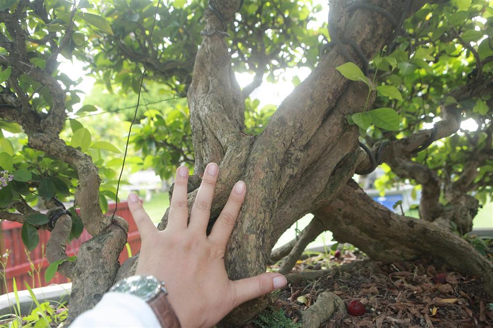 Dàn sơ ri bonsai cổ thụ, trĩu quả giá tiền tỷ của tướng cướp hoàn lương-6