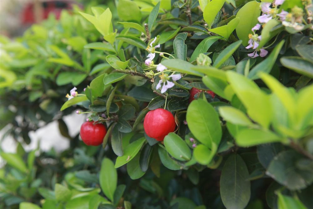 Dàn sơ ri bonsai cổ thụ, trĩu quả giá tiền tỷ của tướng cướp hoàn lương-7