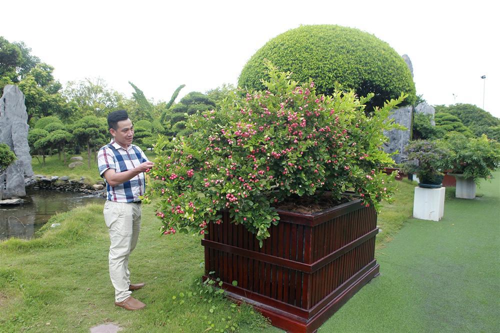 Dàn sơ ri bonsai cổ thụ, trĩu quả giá tiền tỷ của tướng cướp hoàn lương-8