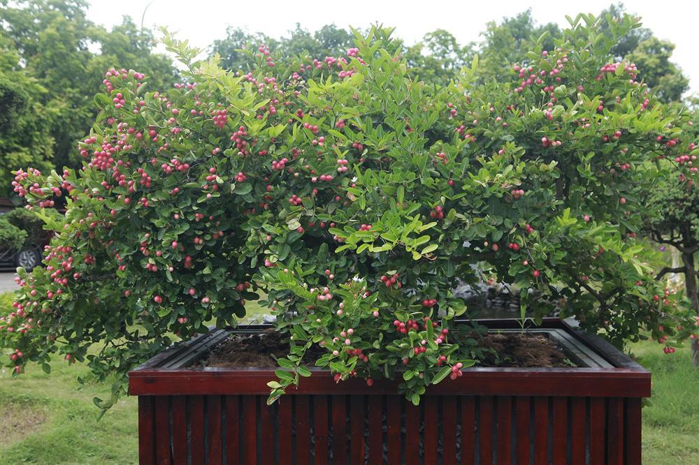 Dàn sơ ri bonsai cổ thụ, trĩu quả giá tiền tỷ của tướng cướp hoàn lương-9