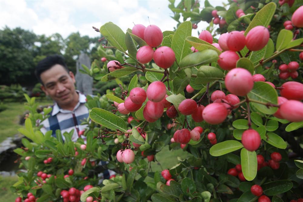 Dàn sơ ri bonsai cổ thụ, trĩu quả giá tiền tỷ của tướng cướp hoàn lương-10