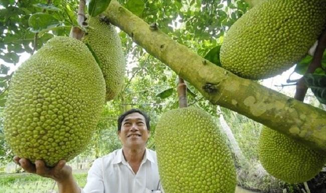Mít Thái bất ngờ tăng giá gấp 3 lần, thương lái đổ về vườn lùng mua-2