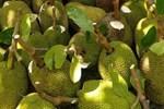 Hàng nghìn quả mít bị cắt đầu, bôi chất trắng trước khi mang bán, mục đích là gì?-4