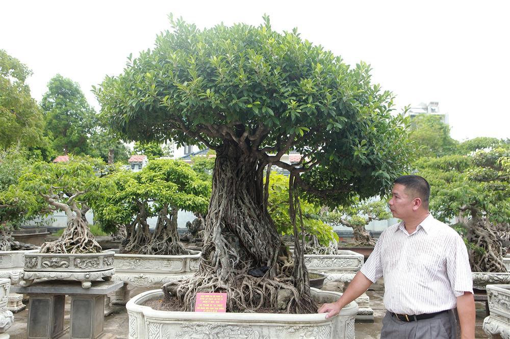 Chiêm ngưỡng bộ ba cây si cổ trị giá chục tỷ đồng của đại gia Vĩnh Phúc-1