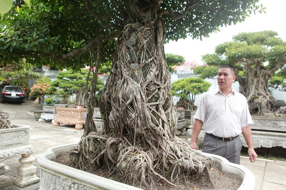 Chiêm ngưỡng bộ ba cây si cổ trị giá chục tỷ đồng của đại gia Vĩnh Phúc-2