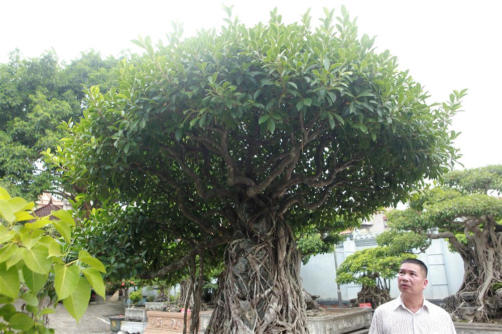 Chiêm ngưỡng bộ ba cây si cổ trị giá chục tỷ đồng của đại gia Vĩnh Phúc-3