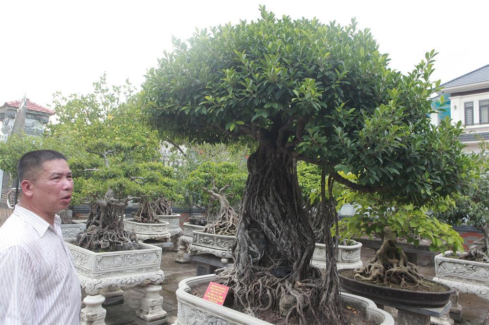 Chiêm ngưỡng bộ ba cây si cổ trị giá chục tỷ đồng của đại gia Vĩnh Phúc-4