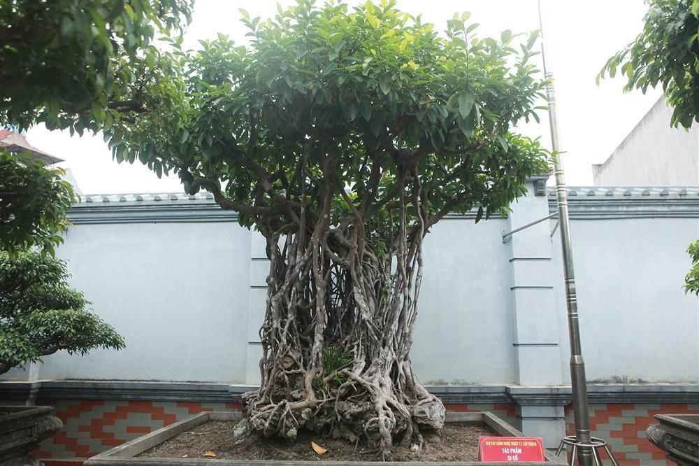 Chiêm ngưỡng bộ ba cây si cổ trị giá chục tỷ đồng của đại gia Vĩnh Phúc-5
