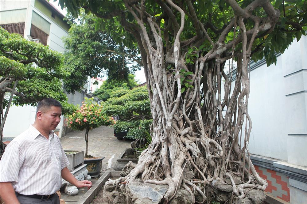 Chiêm ngưỡng bộ ba cây si cổ trị giá chục tỷ đồng của đại gia Vĩnh Phúc-6