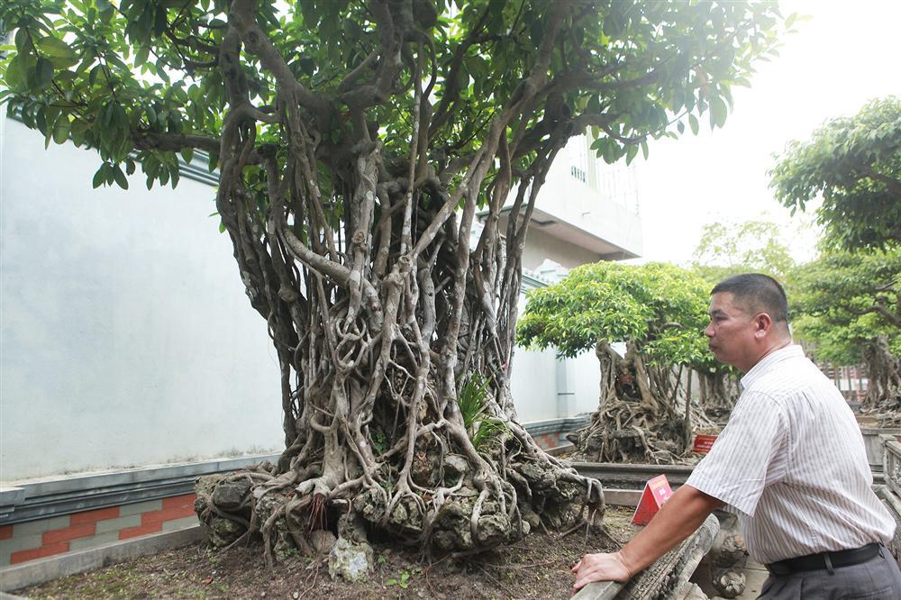 Chiêm ngưỡng bộ ba cây si cổ trị giá chục tỷ đồng của đại gia Vĩnh Phúc-7