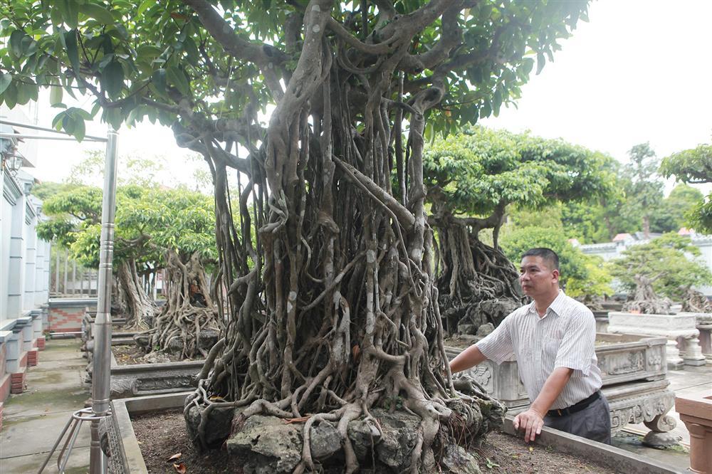 Chiêm ngưỡng bộ ba cây si cổ trị giá chục tỷ đồng của đại gia Vĩnh Phúc-8