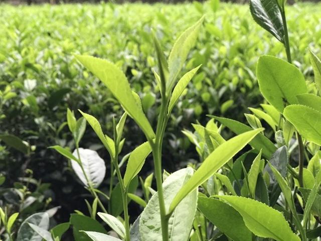 Cận Trung thu, giới nhà giàu Việt chi 5 triệu đồng mua 1 cân trà đinh-1