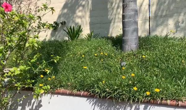 Giữa ồn ào chuyện con trai Ngô Kiến Huy, Thanh Thảo khoe vườn nhà xanh mát trong biệt thự triệu đô ở Mỹ-13