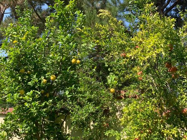 Giữa ồn ào chuyện con trai Ngô Kiến Huy, Thanh Thảo khoe vườn nhà xanh mát trong biệt thự triệu đô ở Mỹ-5