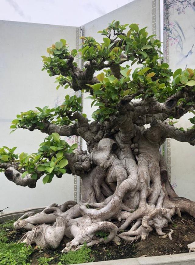 Lộ diện cây si đỏ Nhất trụ liên chi khiến nhiều đại gia mê mẩn-2