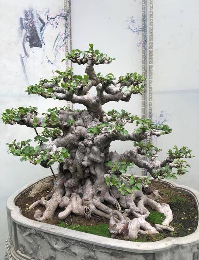 Lộ diện cây si đỏ Nhất trụ liên chi khiến nhiều đại gia mê mẩn-3