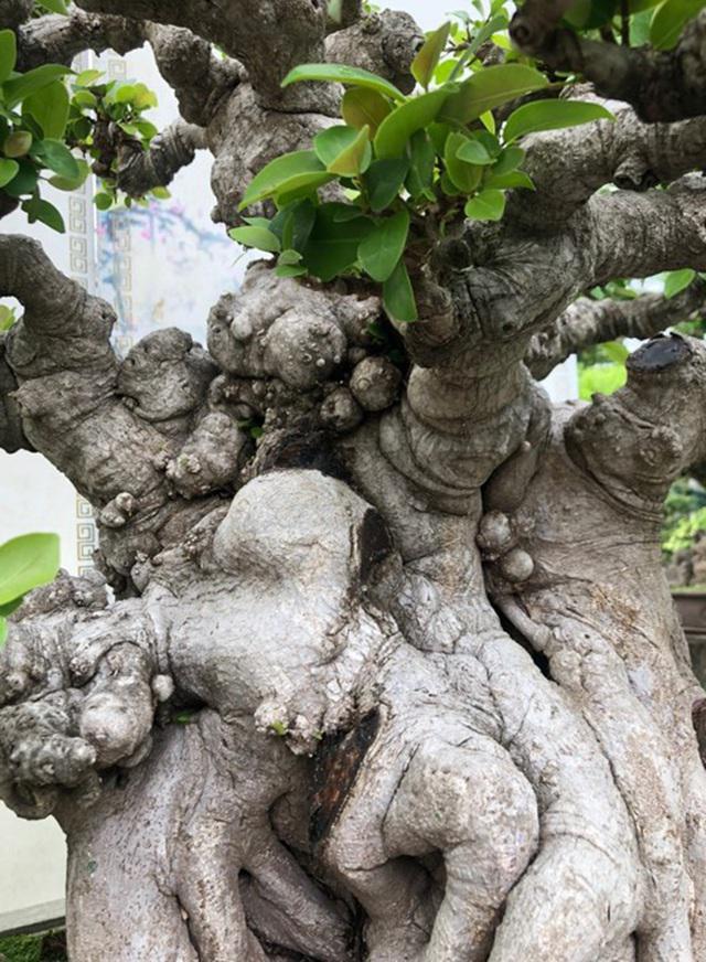 Lộ diện cây si đỏ Nhất trụ liên chi khiến nhiều đại gia mê mẩn-4