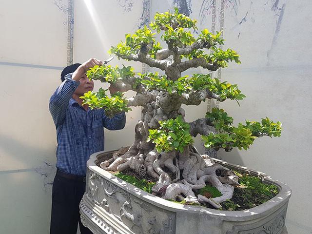 Lộ diện cây si đỏ Nhất trụ liên chi khiến nhiều đại gia mê mẩn-5
