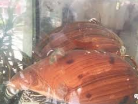Mua 5 con ốc sên tiếp đãi khách quý, người đàn ông ngỡ ngàng khi phát hiện dị vật bên trong khiến cuộc đời rẽ sang hướng khác-1