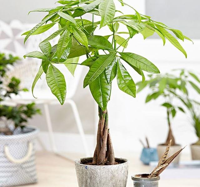 Các mẫu cây cảnh để bàn đẹp, hợp tuổi, hợp mệnh phong thủy-13