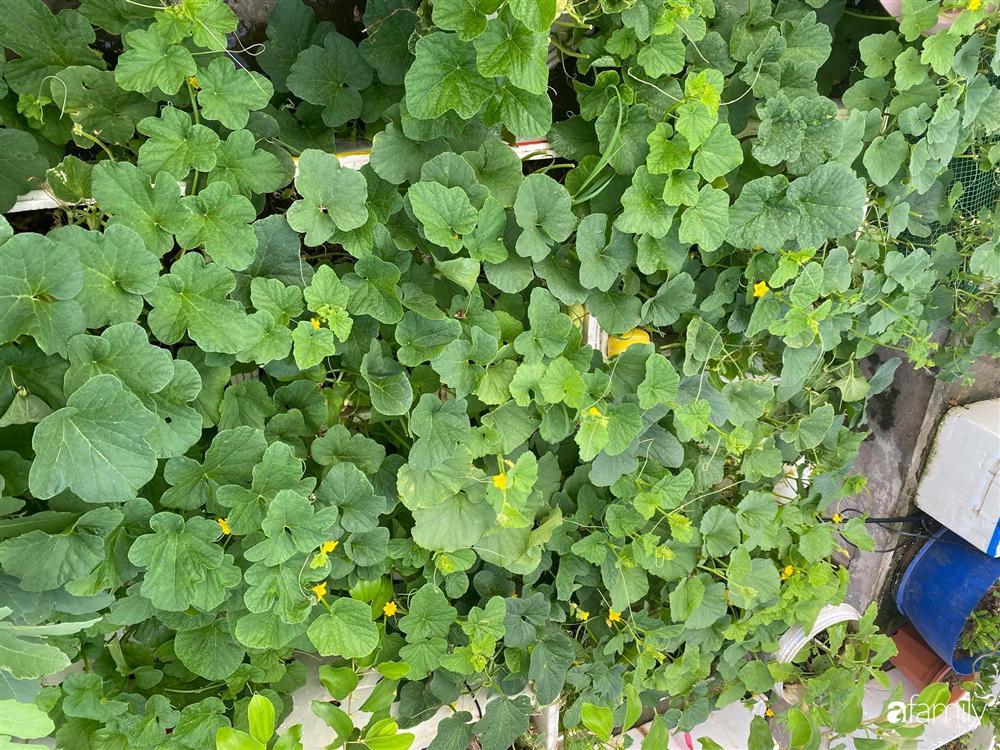 Tận dụng sân thượng chung cư, nữ giám đốc ở Hà Nội đã trồng được một vườn rau đủ loại rau quả sạch với 8 triệu tiền đầu tư-5