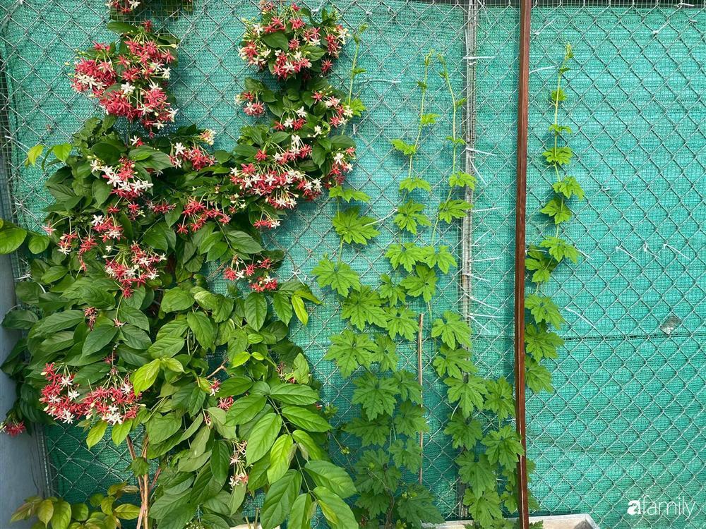 Tận dụng sân thượng chung cư, nữ giám đốc ở Hà Nội đã trồng được một vườn rau đủ loại rau quả sạch với 8 triệu tiền đầu tư-6