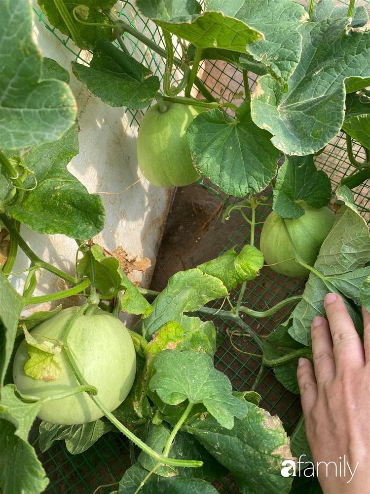 Tận dụng sân thượng chung cư, nữ giám đốc ở Hà Nội đã trồng được một vườn rau đủ loại rau quả sạch với 8 triệu tiền đầu tư-8
