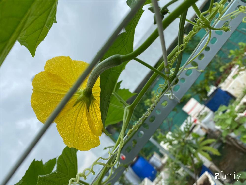 Tận dụng sân thượng chung cư, nữ giám đốc ở Hà Nội đã trồng được một vườn rau đủ loại rau quả sạch với 8 triệu tiền đầu tư-11