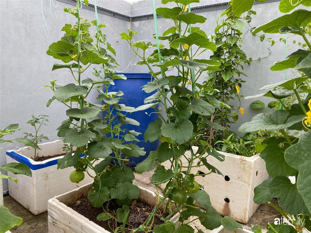 Tận dụng sân thượng chung cư, nữ giám đốc ở Hà Nội đã trồng được một vườn rau đủ loại rau quả sạch với 8 triệu tiền đầu tư-12
