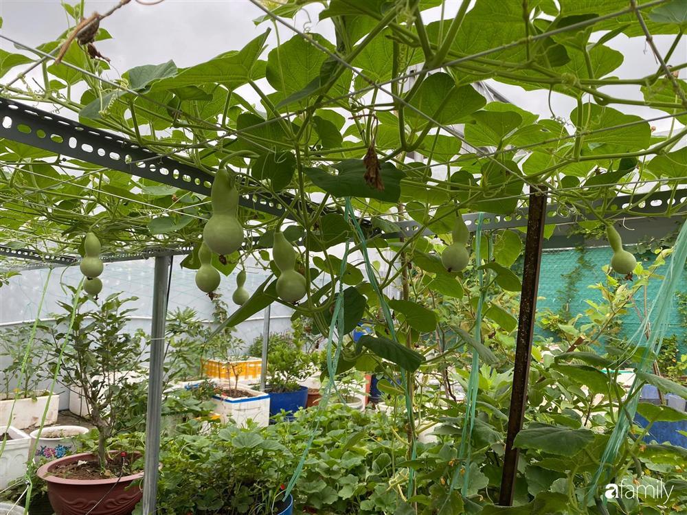 Tận dụng sân thượng chung cư, nữ giám đốc ở Hà Nội đã trồng được một vườn rau đủ loại rau quả sạch với 8 triệu tiền đầu tư-13