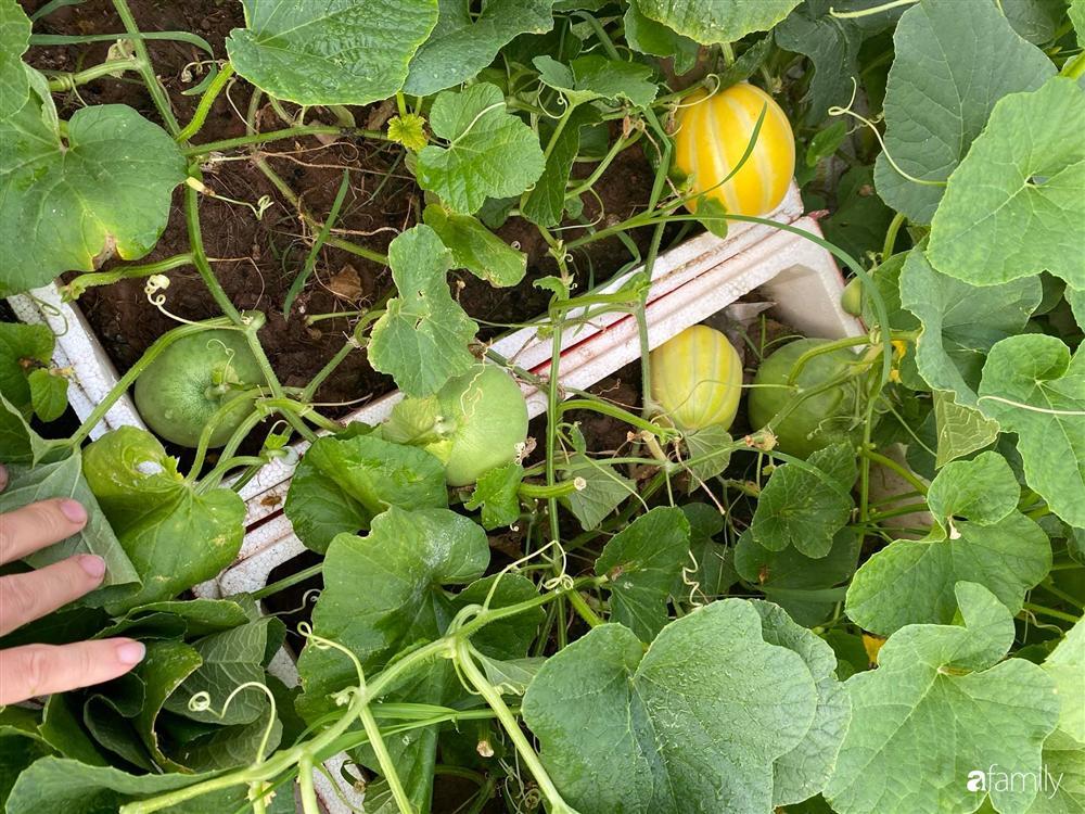 Tận dụng sân thượng chung cư, nữ giám đốc ở Hà Nội đã trồng được một vườn rau đủ loại rau quả sạch với 8 triệu tiền đầu tư-17