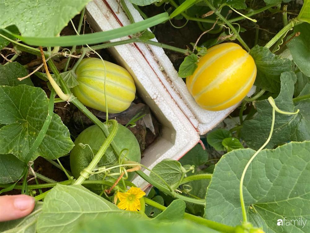 Tận dụng sân thượng chung cư, nữ giám đốc ở Hà Nội đã trồng được một vườn rau đủ loại rau quả sạch với 8 triệu tiền đầu tư-18